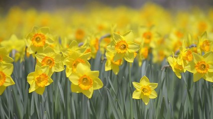 Flowers of Narcissus,in Showa Kinen Park,Tokyo,Japan