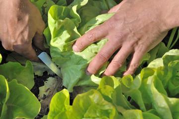 récolter sa salade