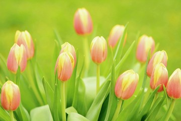 Closeup of the bunch of tulips with green background.