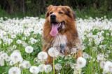 Hund hat Spass in einer Pusteblumen Wiese - 65020044