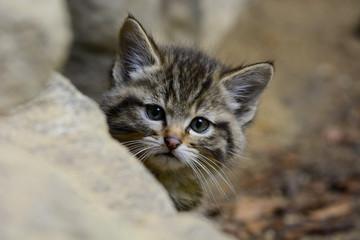 Neugierig Wildkatze Jungtier
