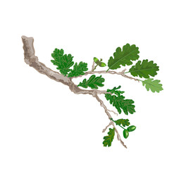 Oak branch with leaves and acorns vector