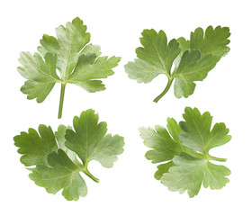 Collection of parsley leaves isolated on white background
