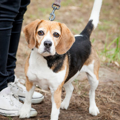 Unhappy Tricolor Beagle Standing in a Park