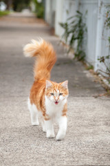 Young Cute Ginger and White Tabby Cat on the Footpath