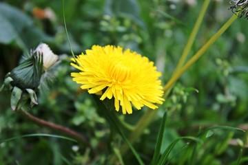 Gelbes Gänseblümchen