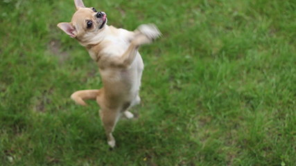 chihuahua jumping on two legs and asks treat- 1920x1080