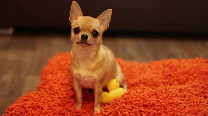 beautiful chihuachua wags its tail  on the orange pillow