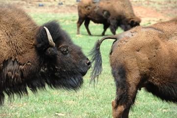Bison on the plains of Utah