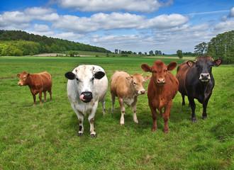 Verschiedene Kühe auf saftiger Wiese