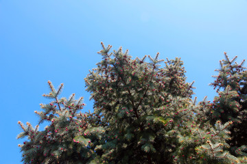 young cones and branches green tree pine-tree