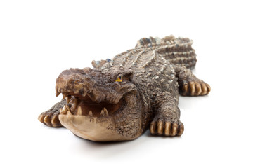 Wildlife crocodile open mouth