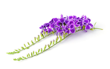 purple flowers, isolated on white background