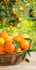 Basket full of oranges and lemons in garden