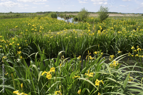 Staande foto Iris Iris pseudacorus dans le marais Vernier (27)