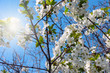 beautiful white flowers tree cherry as illustration spring