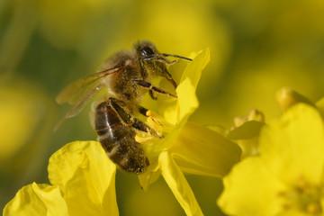 Une abeille butinet une fleur de colza