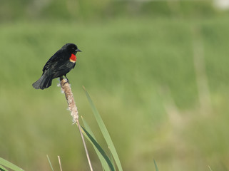 Red-Winged Blackbird in BC