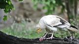 Egyptian vulture or white scavenger vulture poster