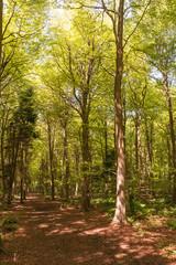 In the greenwoods - sunlight through beech