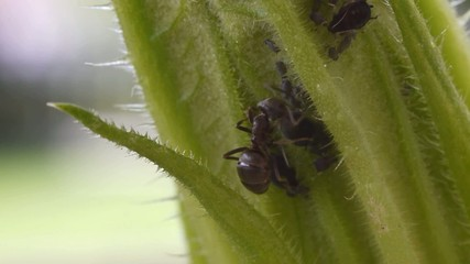 ant taking honeydew of aphids