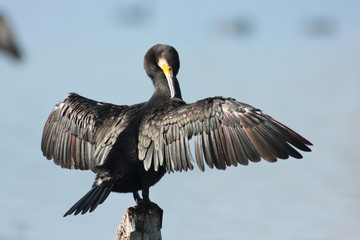 cormorano uccello acquatico nell'oasi del torrile