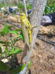 Egyptian locust (Schistocerca gregaria)
