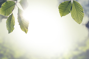 Fresh green spring leaves with sun flare