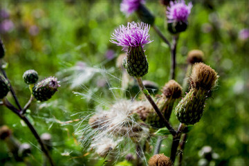 purple thistle macro, wallpaper