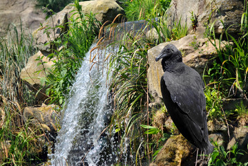 Black Vulture Latin name Coragyps atratus