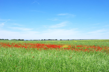 Poppies in field of alentejo  region, Portugal.
