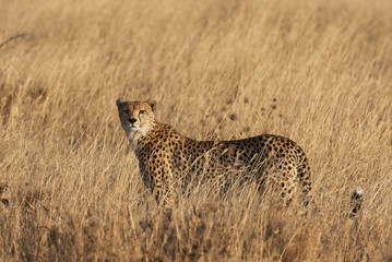 cheetah in tall grass on the African savannah