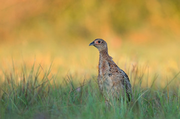 Female pheasant - young
