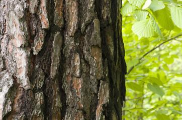 Sosnowa kora zielone liście