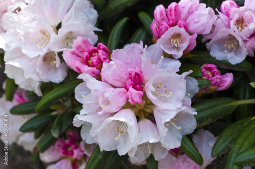 Fotobehang Azalea White and pink blush rhododendron flowers close-up.