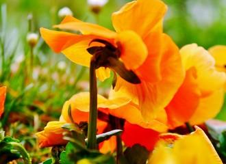 gelbe Stiefmütterchenblüte