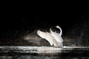 Swan rising from water and splashing silvery water drops around