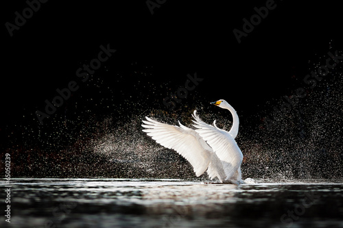 Tuinposter Zwaan Swan rising from water and splashing silvery water drops around