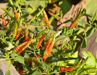 fresh guinea-pepper in garden