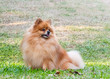 Pomeranian dog looking for something on green grass