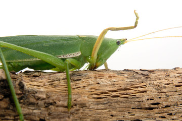 Grasshopper perched on a twig