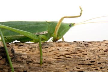 Grasshopper perched on a twig