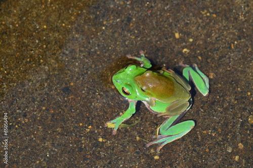 Foto op Canvas Kikker 蛙のペア