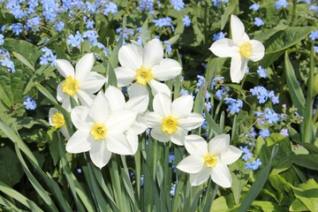 Daffodils bloom in the garden