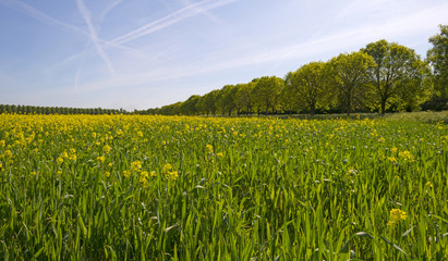 Yellow flowers on a field in spring