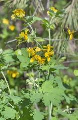 celandine flower macro