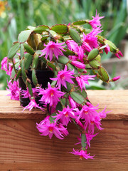 Easter cactus on wooden box with green background