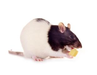 Ratte frisst Käsestück