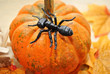 Concept of a Black Ant on a Pumpkin