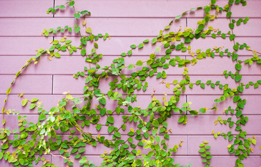 The green creeper plant on the pink wooden wall for background
